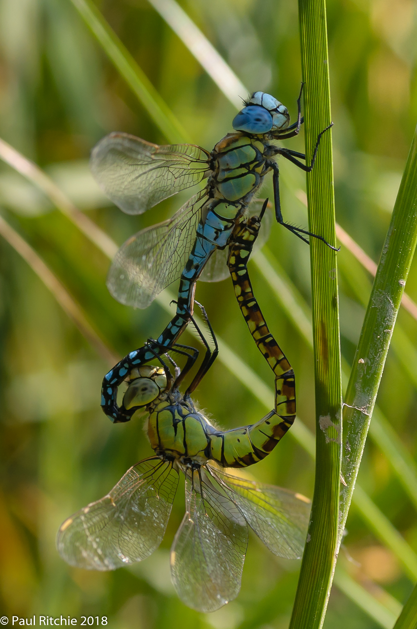 Blue-eyed (Southern Migrant) Hawker (Aeshna affinis) - pair in-cop