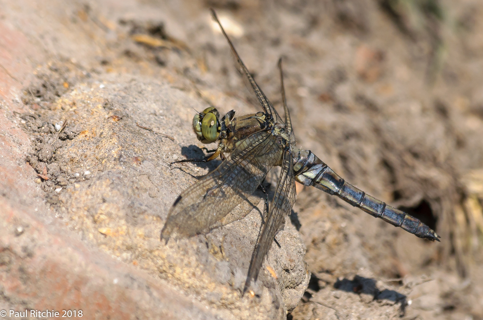 Black-tailed Skimmer (Orthetrum cancellatum) - over-mature female