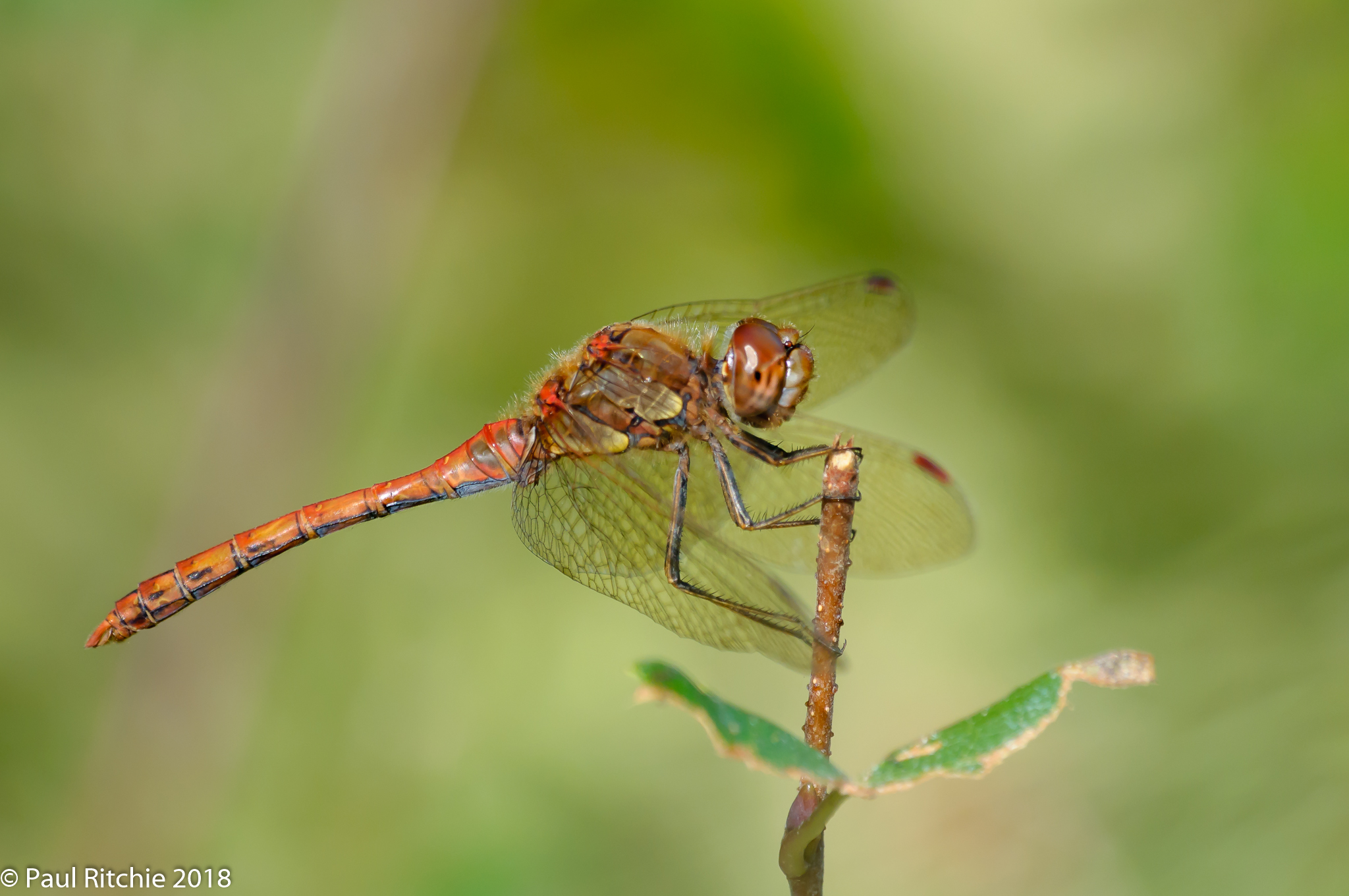 Common Darter.(Sympetrum striolatum) - male