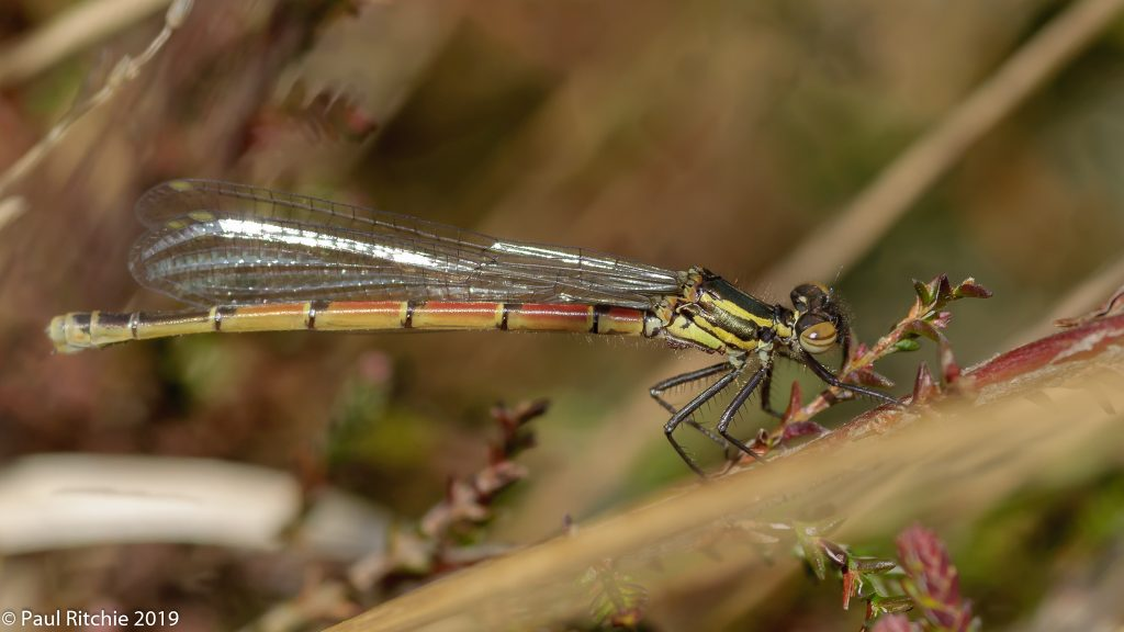 Large Red Damselfly (Pyrrhosoma nymphula) - teneral female