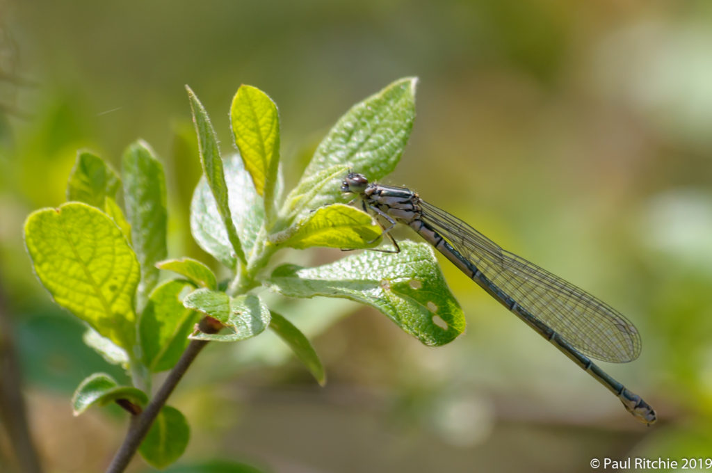 Azure Damselfly (Coenagrion puella) - immature female
