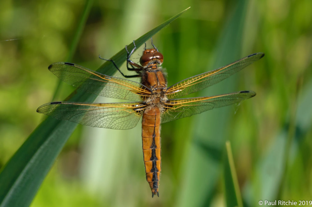 Scarce Chaser (Libellula fulva)- immature female