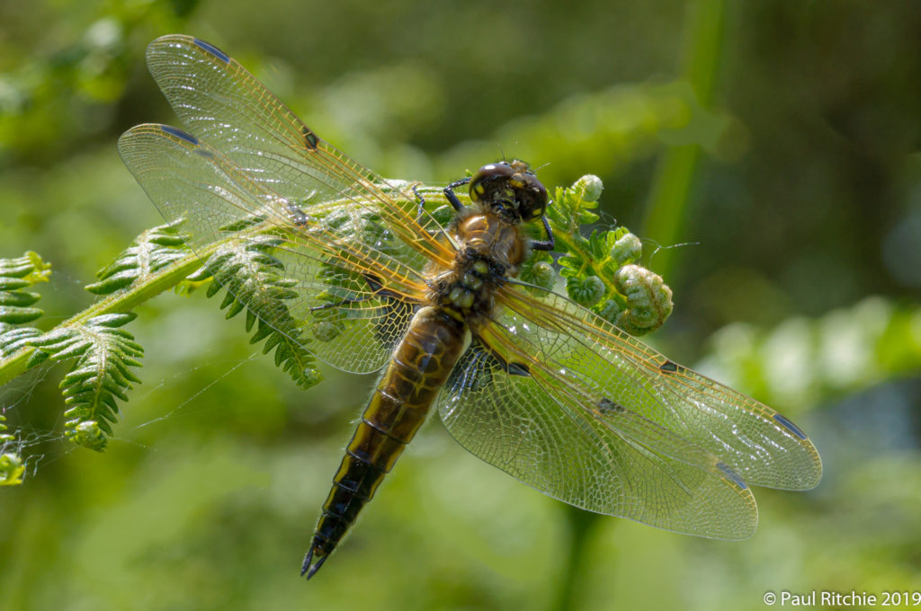 Four-spotted Chaser (Libellula quadrimaculata) - immature female