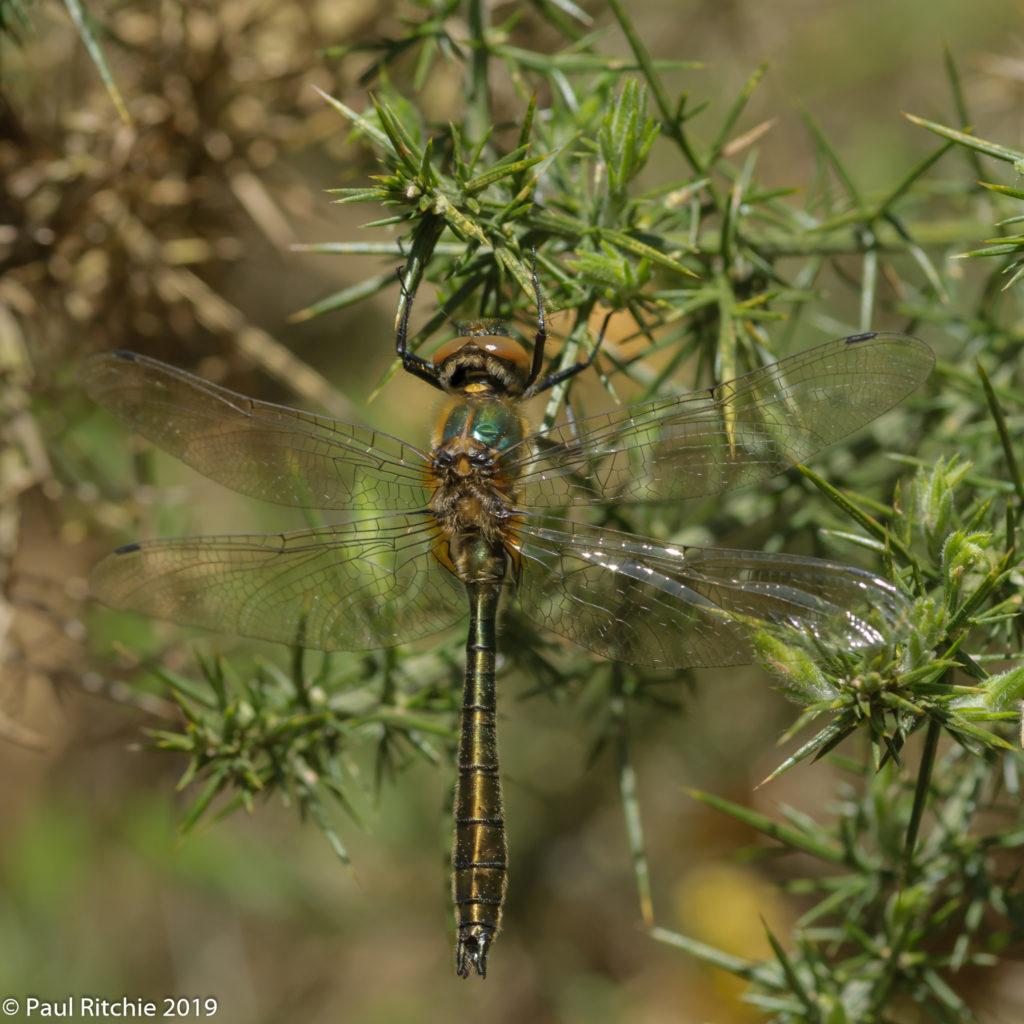 Downy Emerald (Cordulia aenea) - immature male