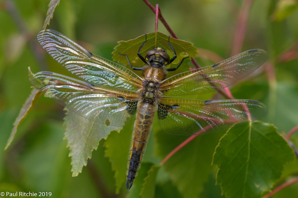 Four-spotted Chaser (Libellula quadrimaculata) - freshly-emerged female
