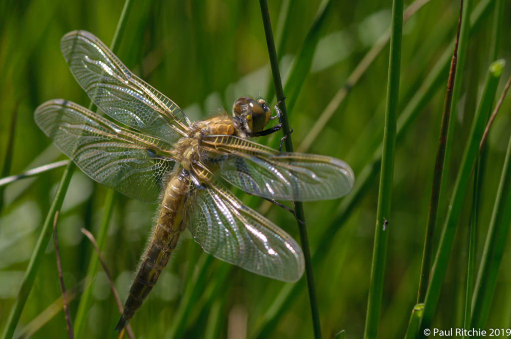 Four-spotted Chaser (Libellula quadrimaculata) - freshly-emerged male