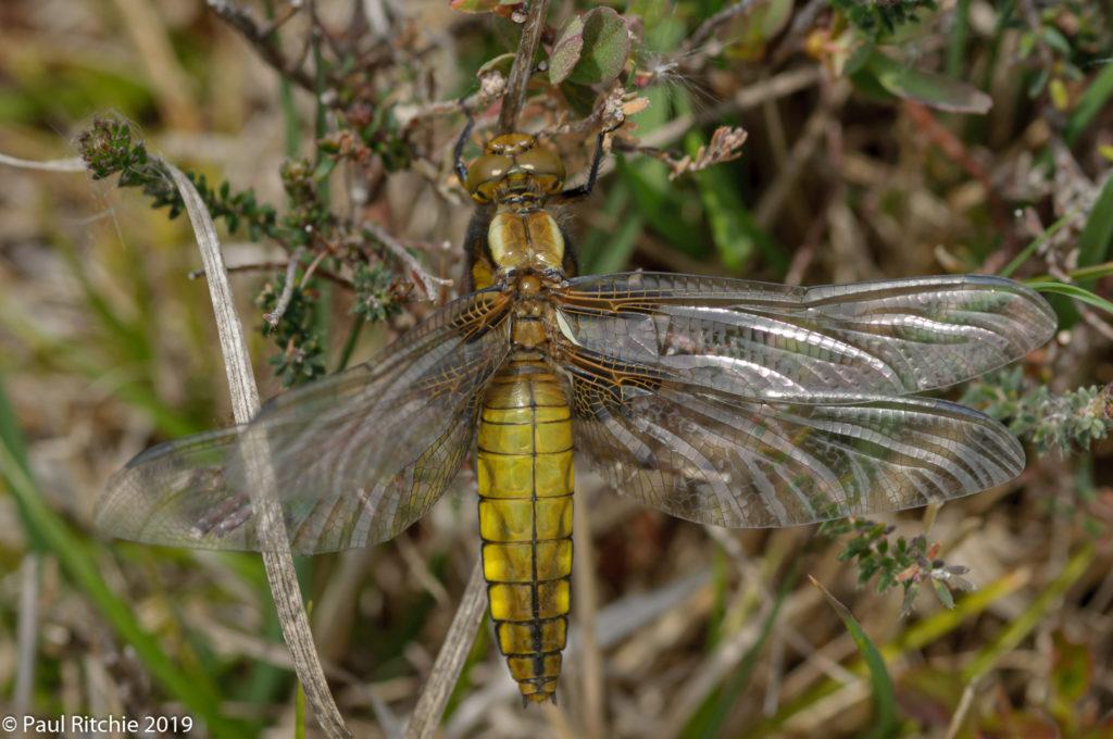 Broad-bodied Chaser (Libellula depressa) - female teneral