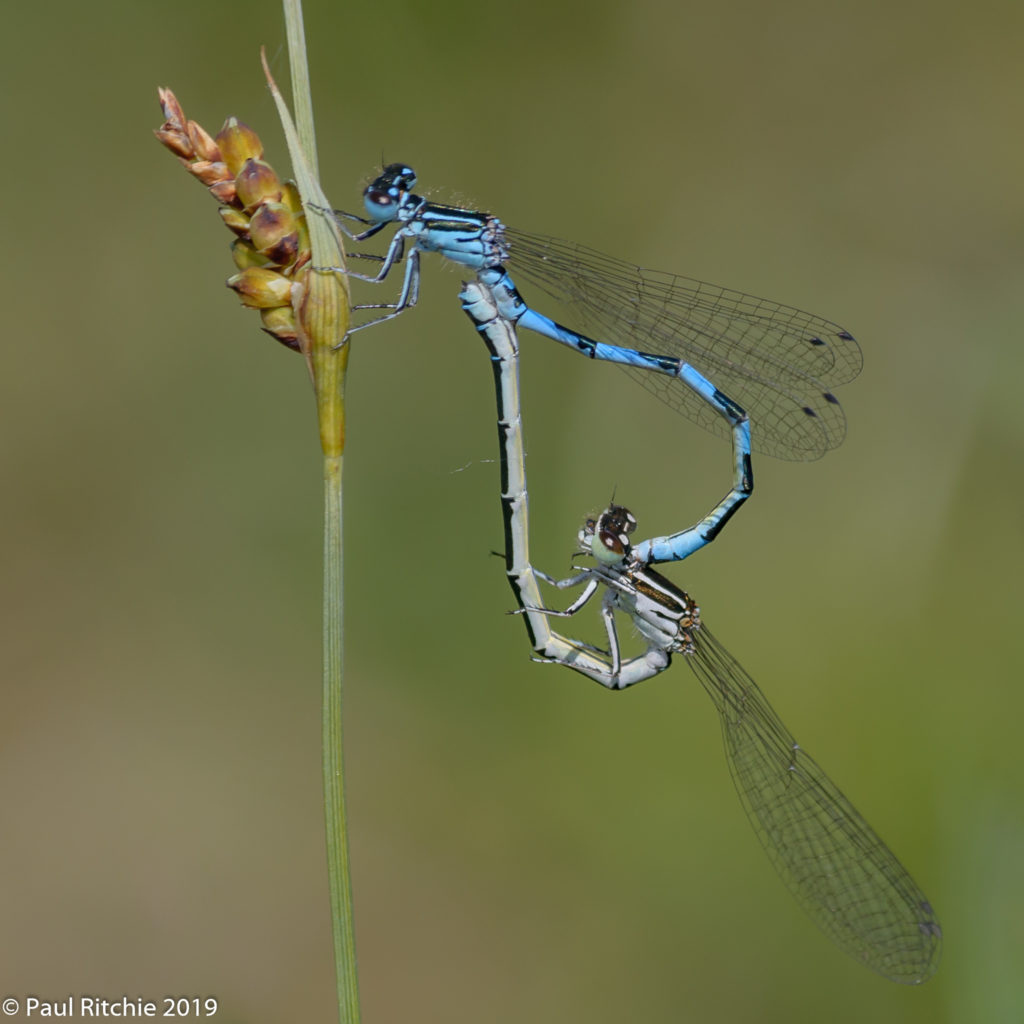 Southern Damselfly (Coenagrion mercuriale) - pair in-cop