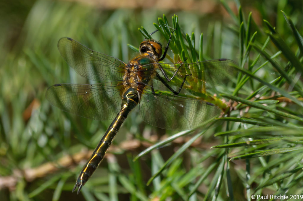 Downy Emerald (Cordulia aenea) - immature female