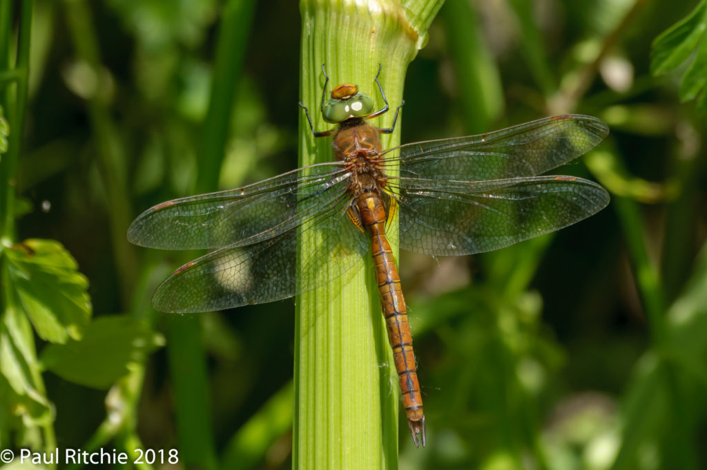 Green-eyed (Norfolk) Hawker (Aeshna isosceles) - male