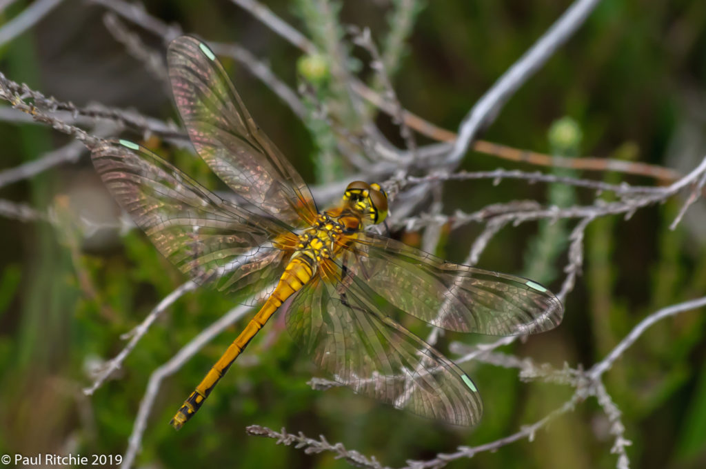 Black Darter (Sympetrum danae) - teneral female