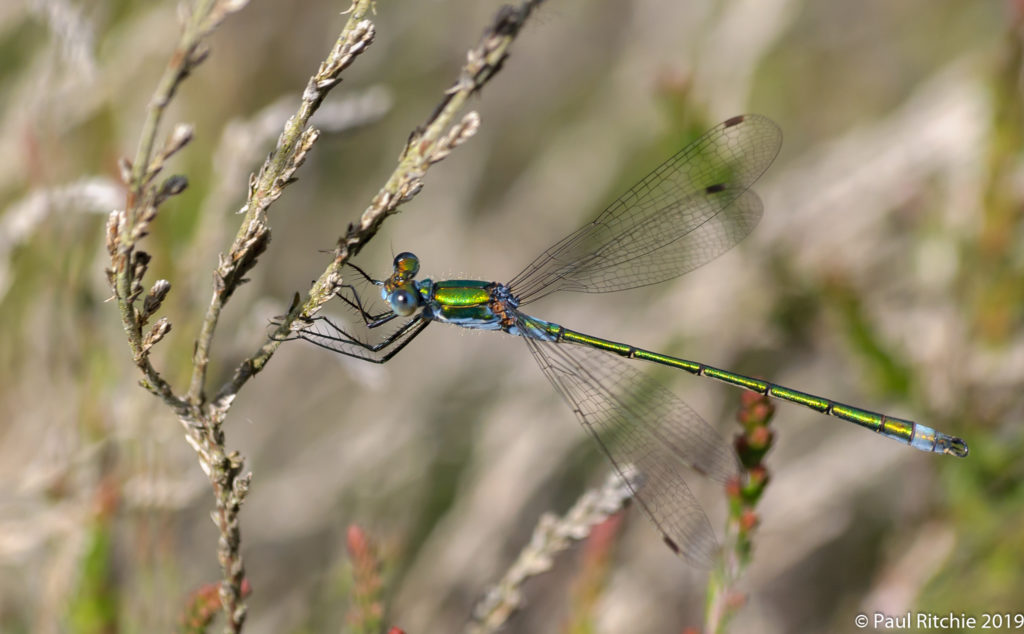 Common Emerald Damselfly (Lestes sponsa) - male