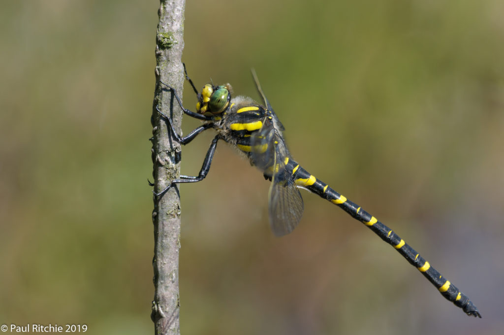 Golden-ringed Dragonfly (Cordulegaster boltonii) - male