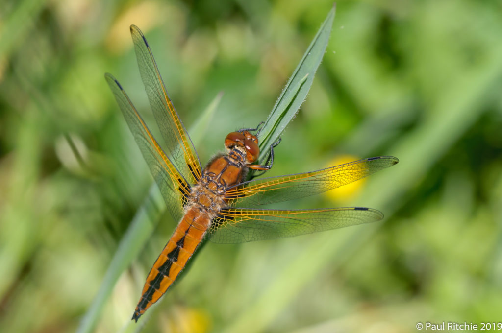 Scarce Chaser (Libellula fulva) - immature female