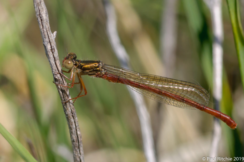 Small Red Damselfly (Ceriagrion tenellum) - immature male