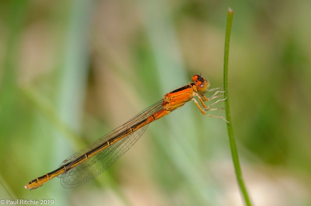 Scarce Blue-tailed Damselfly (Ischnura pumilio) - immature female aurantiaca phase