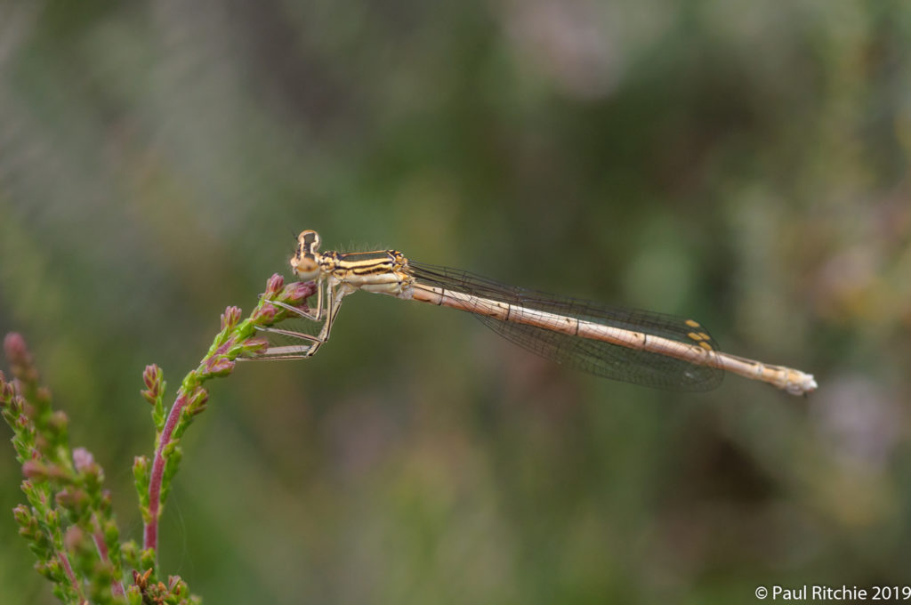 White-legged Damselfly ( Platycnemis pennipes) - immature female