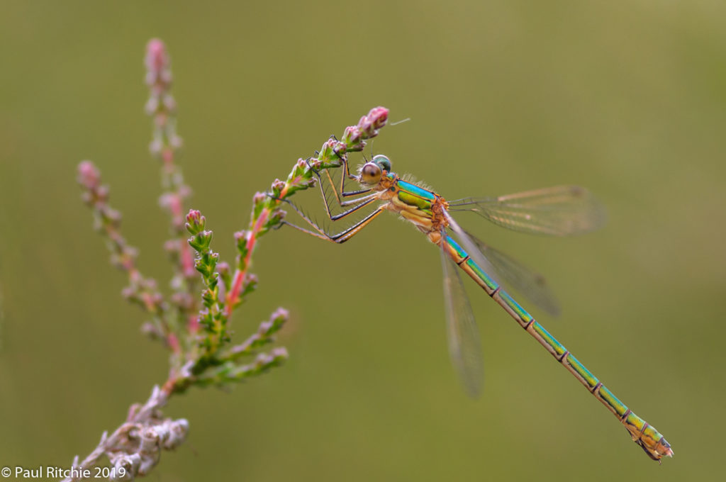 Common Emerald (Lestes sponsa) - female