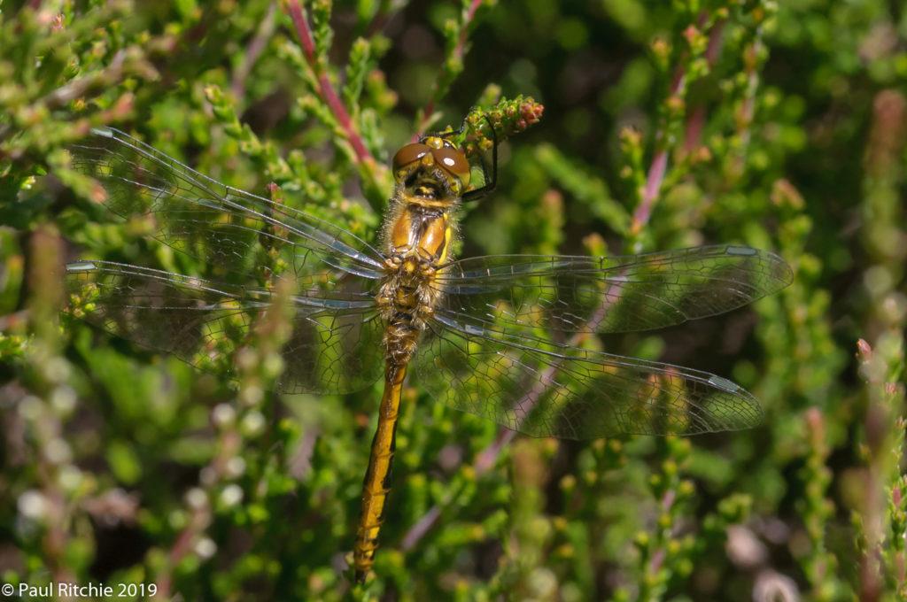 Black Darter (Sympetrum danae) - teneral male