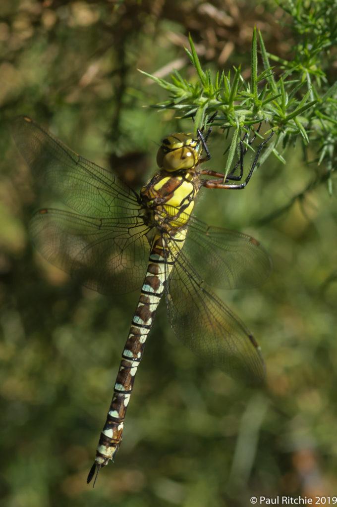 Southern Hawker (Aeshna cyanea) - immature female