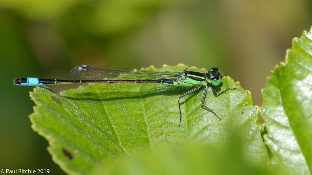Blue-tailed Damselfly (Ischnura elegans) - male