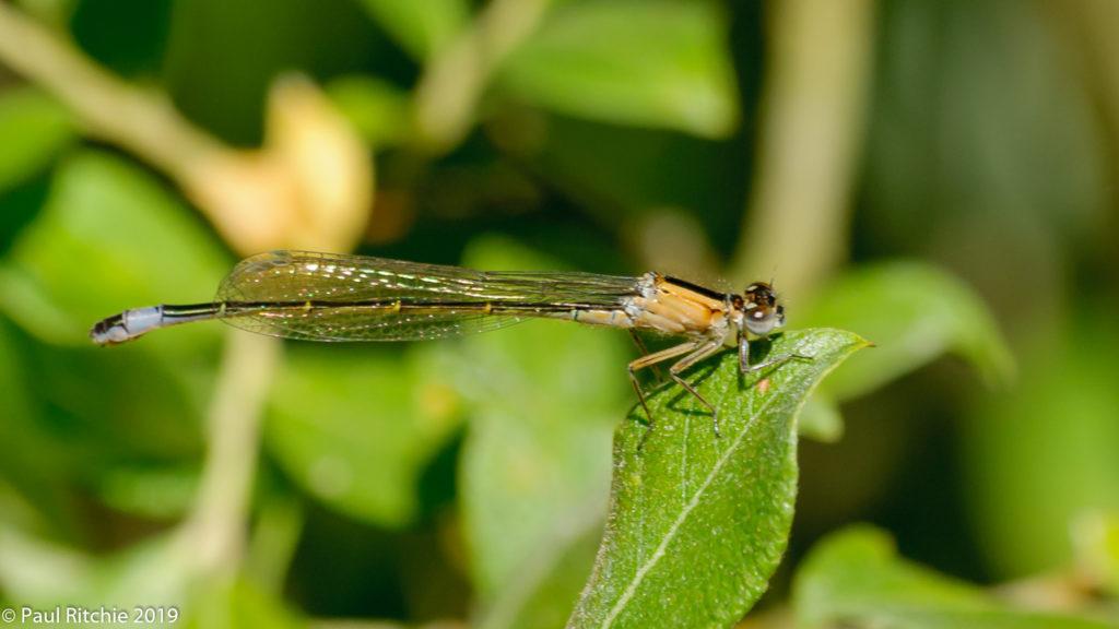 Blue-tailed Damselfly (Ischnura elegans) - female pre-rufescens