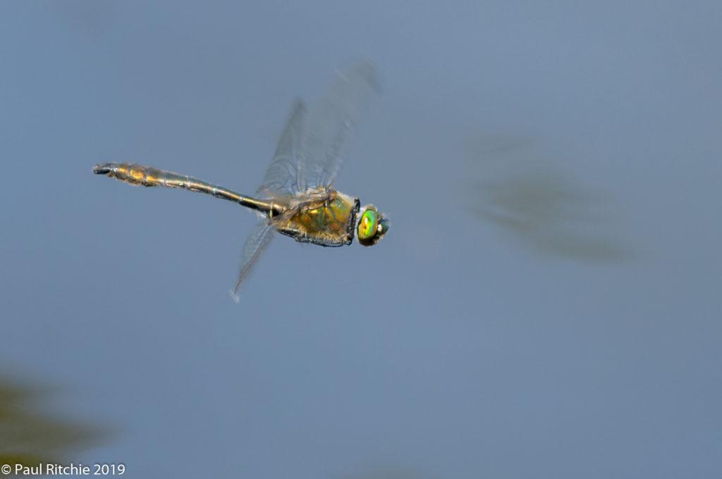 Downy Emerald (Cordulia aenea) - male on patrol