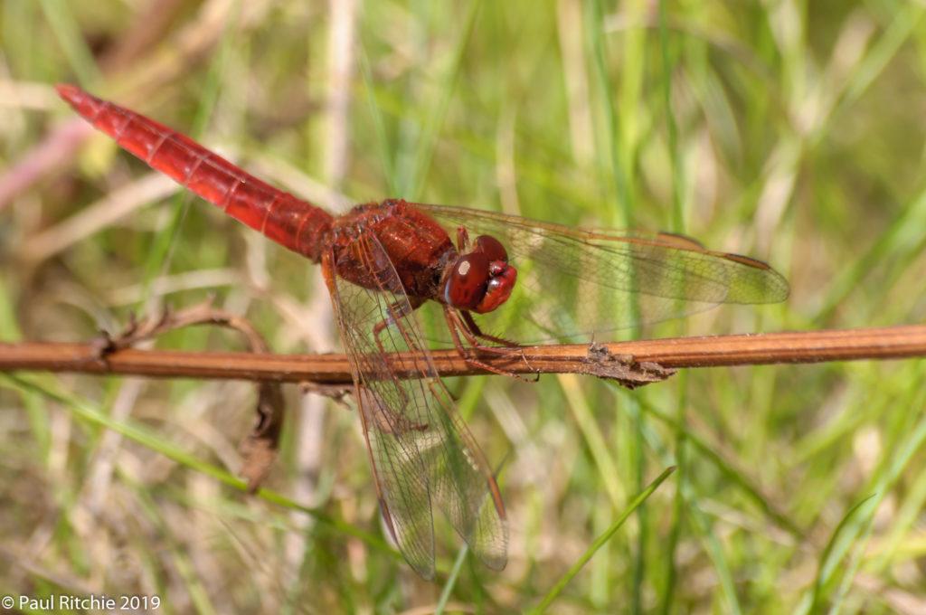 Scarlet Darter (Crocothemis erythraea) - male