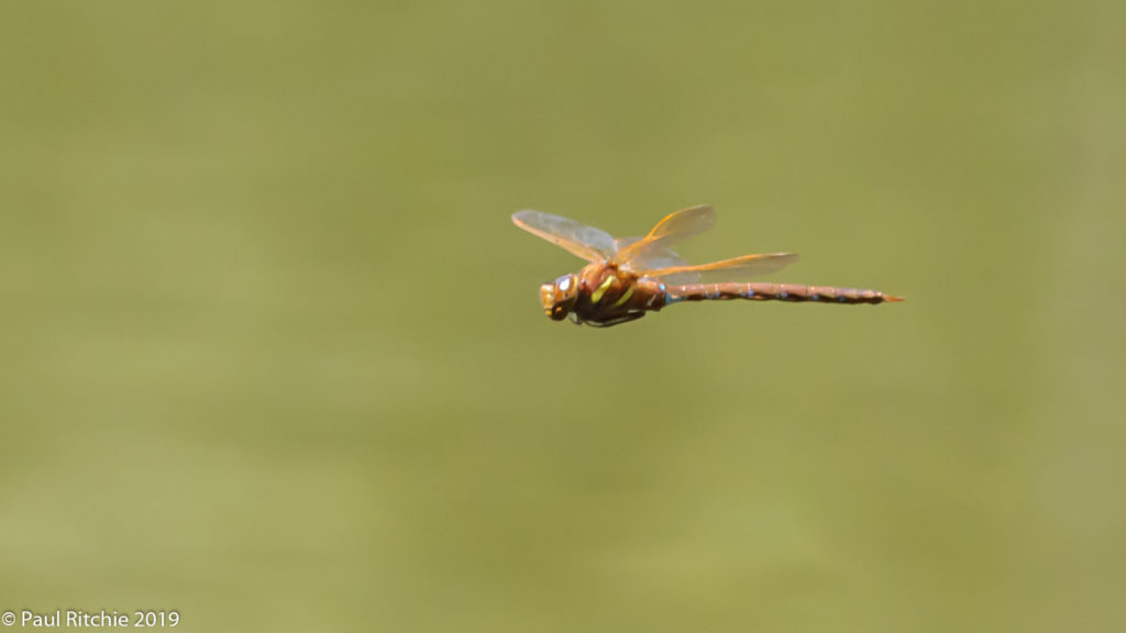 Brown Hawker (Aeshna grandis) - male on patrol