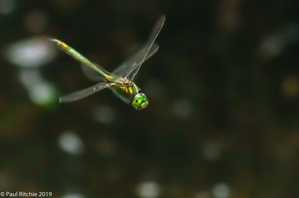 Brilliant Emerald (Somatochlora metallica) - male on patrol