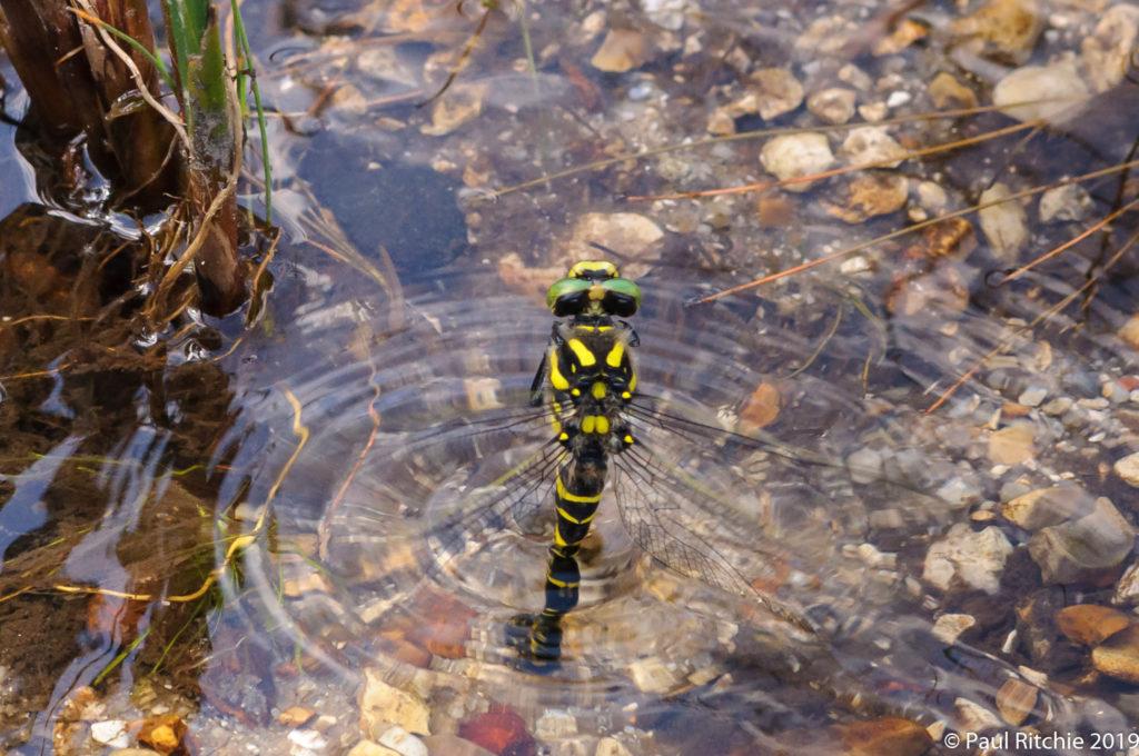 Golden-ringed Dragonfly (Cordulegaster boltonii) - female ovipositing