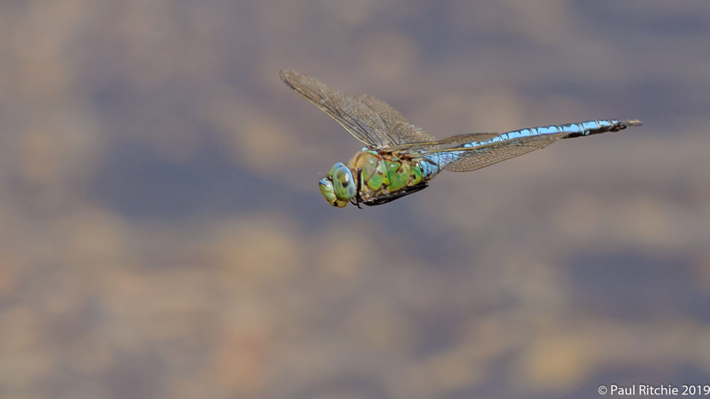 Emperor {Anax imperator) - male on patrol