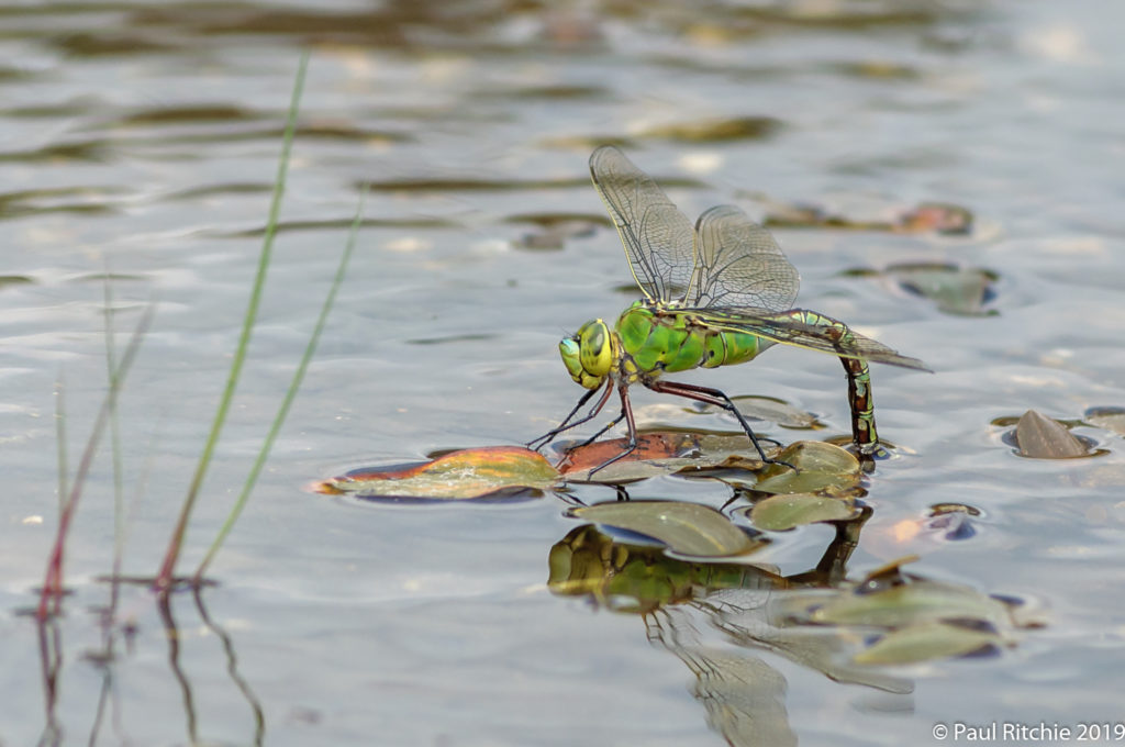 Emperor {Anax imperator) - female ovipositing