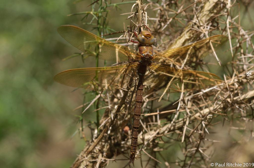 Brown Hawker (Aeshna grandis) - immature male