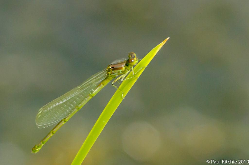 Small Red-eyed (Erythromma viridulum) - teneral female