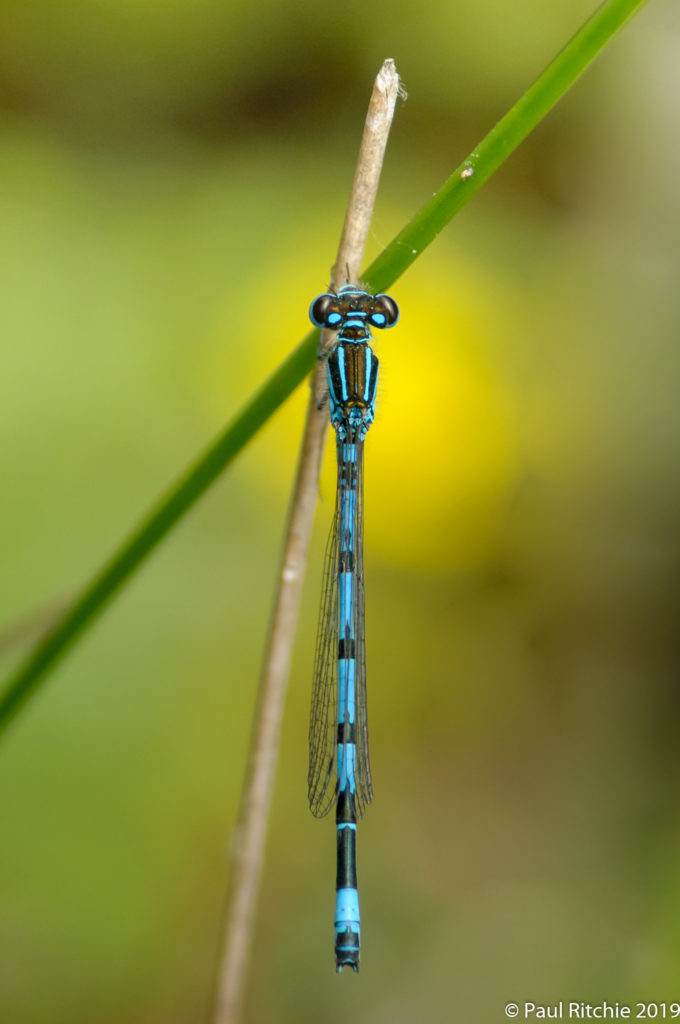 Southern Damselfly (Coenagrion mercuriale) - male