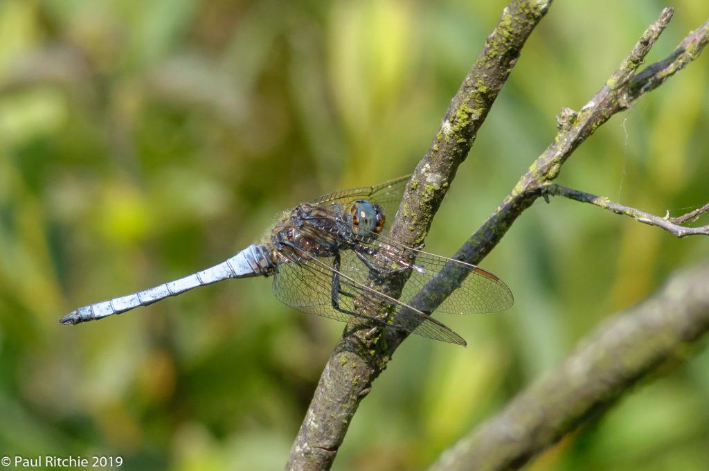 Keeled Skimmer (Orthetrum coerulescens) - male