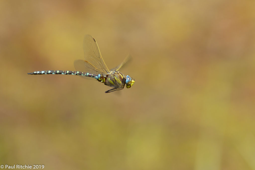 Common (Moorland) Hawker (Aeshna juncea) - male on patrol
