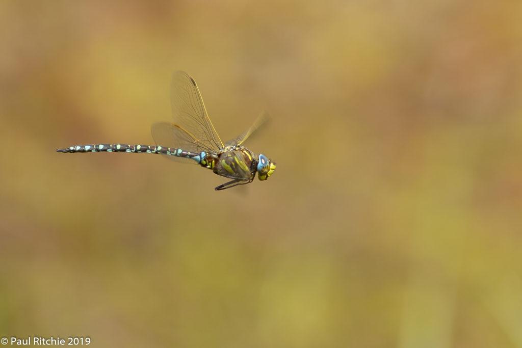 Common (Moorland) Hawker (Aeshna juncea) - male on patrol