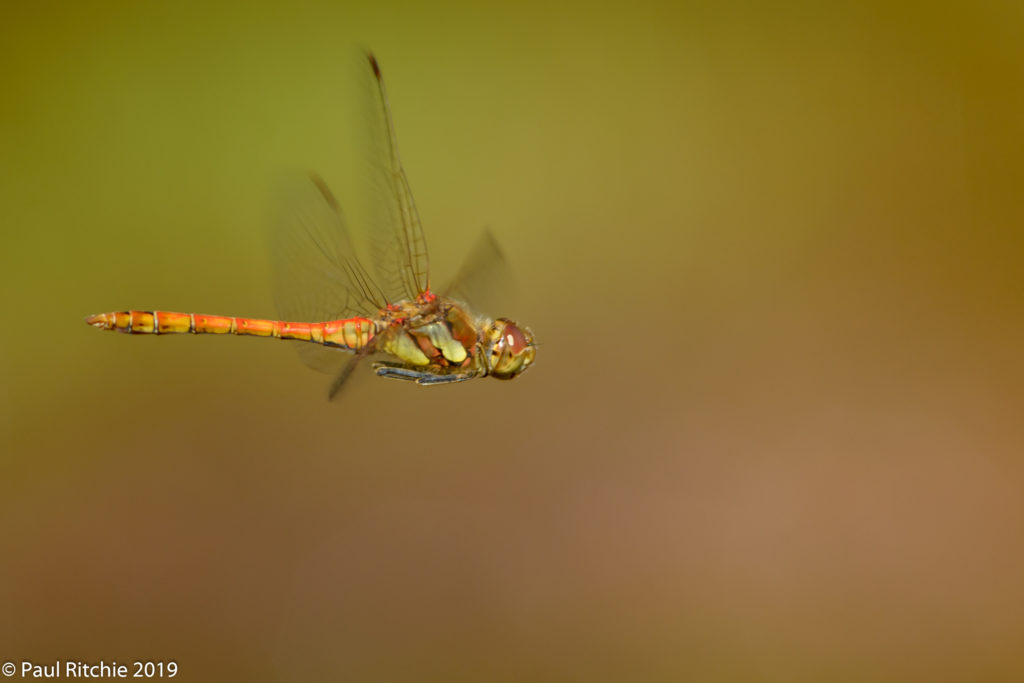 Common Darter (Sympetrum striolatum) - male