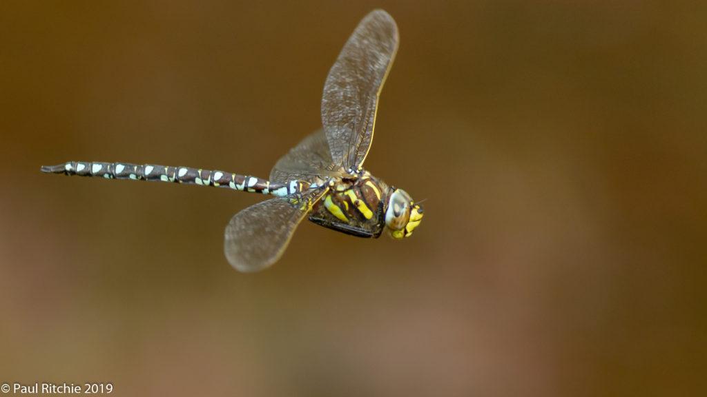 Moorland (Common) Hawker (Aeshna juncea) - male