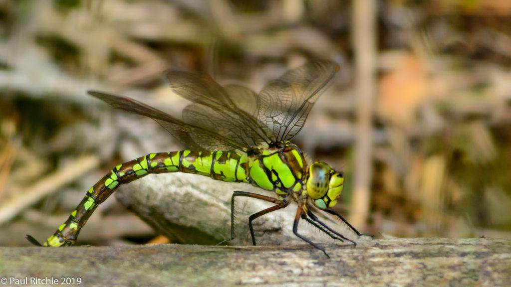 Southern Hawker (Aeshna cyanea) - female
