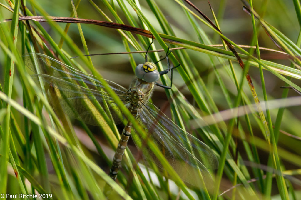 Common (Moorland) Hawker (Aeshna juncea) - freshly-emerged male
