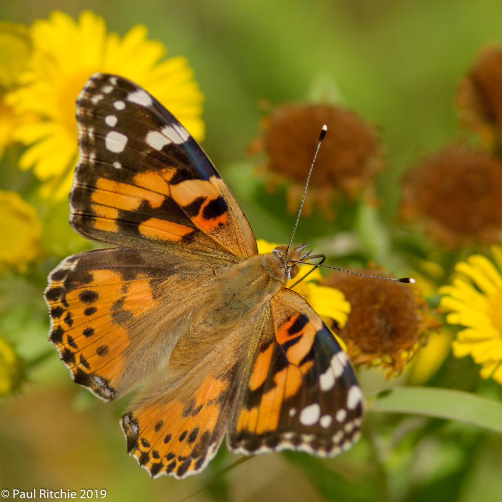 Painted Lady ( Vanessa cardui)