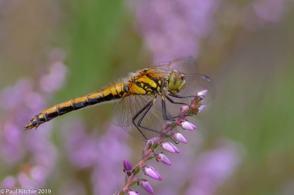 Black Darter (Sympetrum danae) - female on heather