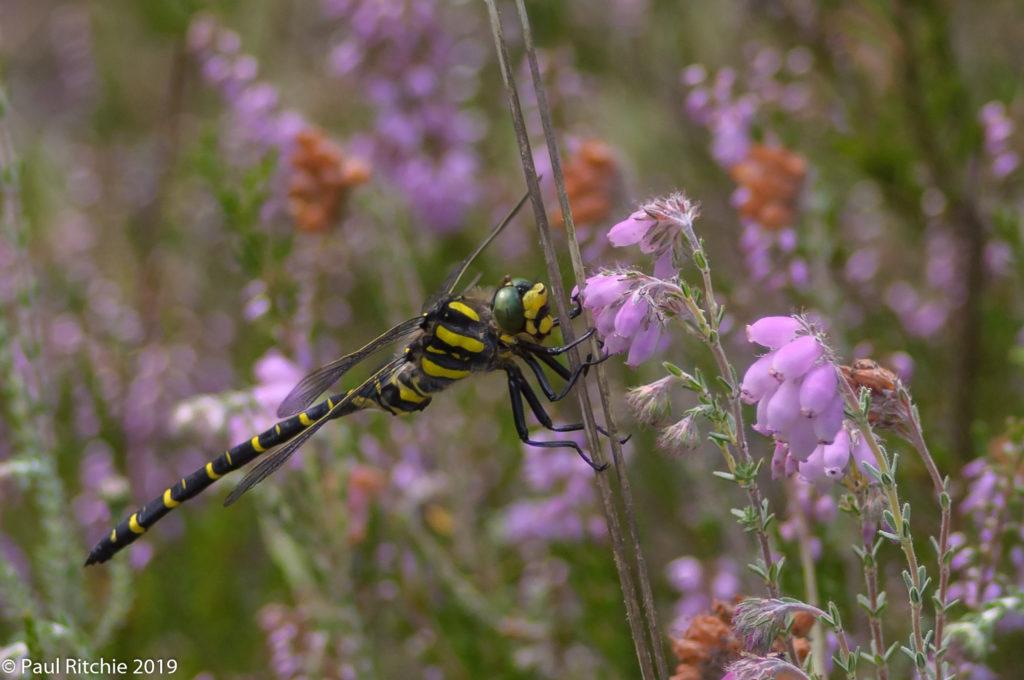 Golden-ringed Dragonfly (Cordulegaster boltonii) - male