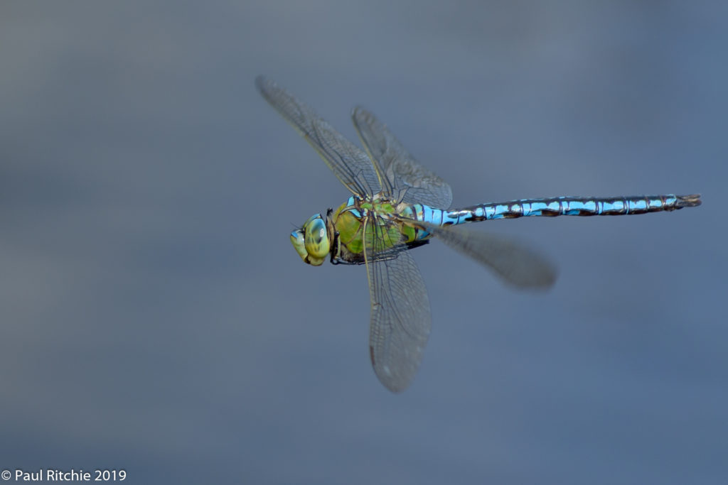 Emperor (Anax imperator) - male on patrol