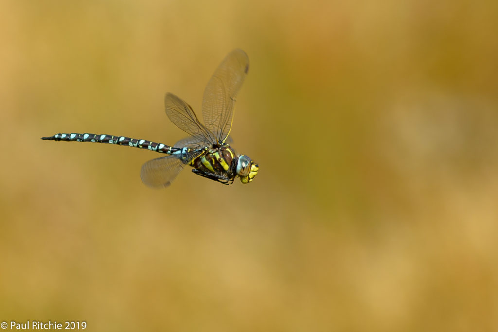 Moorland (Common) Hawker (Aeshna juncea) - male on patrol