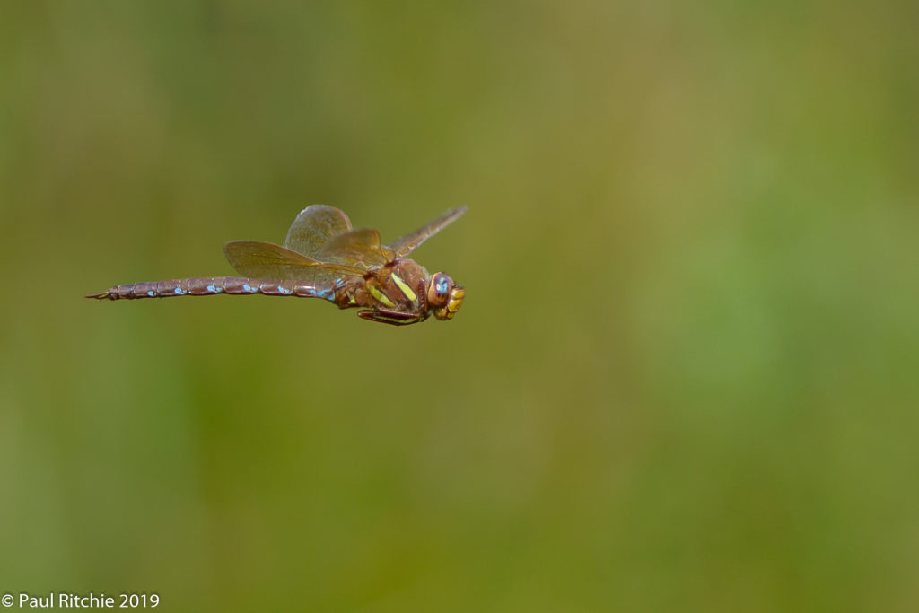 Brown Hawker (Aeshna grandis) - male on patrol