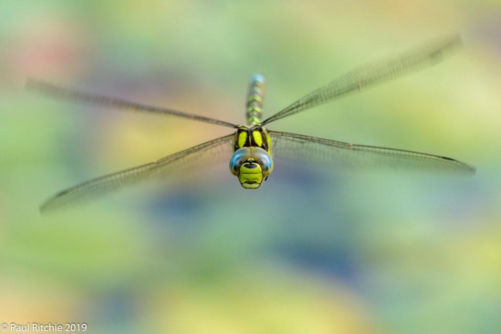 Southern Hawker (Aeshna cyanea) - male on patrol